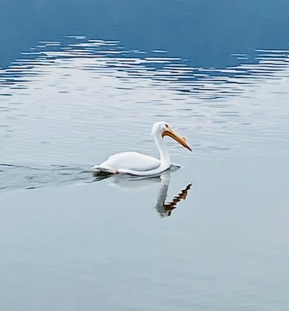 White Pelican swims along south end of Lake Mission Viejo
